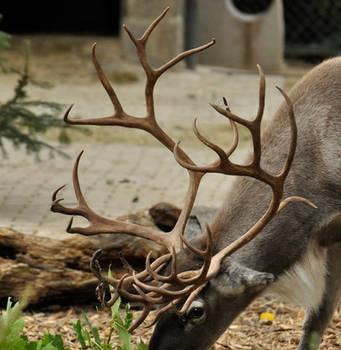 Sep 2015: Fancy Reindeer Antlers 2 by windfuchs