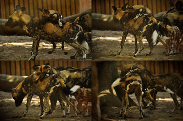 African Wild Dog Pup Crawling Onto Adult by windfuchs