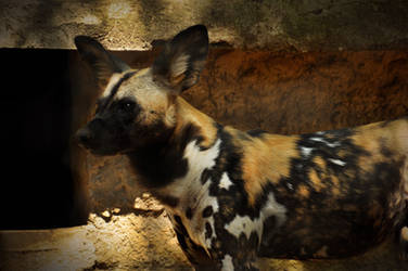 2014 Rome - African Wild Dog 1 by windfuchs