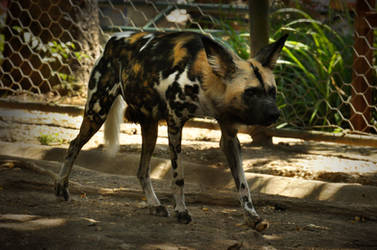 2014 Rome - African Wild Dog 2 by windfuchs