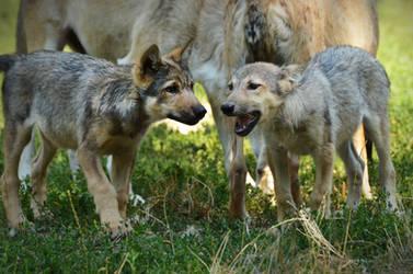 Bad Mergentheim 16 - Wolf Puppers