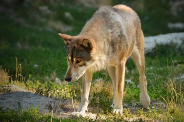 Bad Mergentheim 17 - Brown Wolf