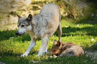 Bad Mergentheim 20 - Wolf With Puppy
