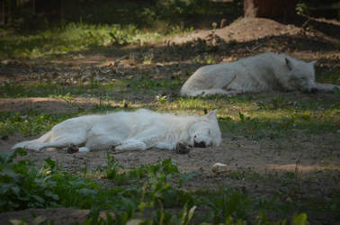 Alte Fasanerie 06 - Sleepy Wolves