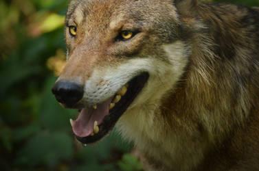 Alte Fasanerie 10 - Happy Wolf Portrait