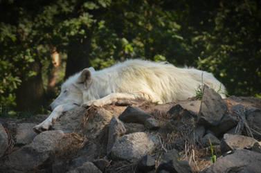Alte Fasanerie 07 - Sleepy Wolf