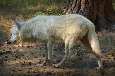 Alte Fasanerie 08 - Arctic Wolf