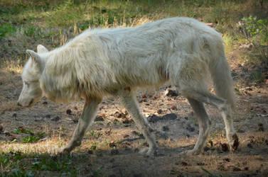 Alte Fasanerie 09 - Arctic Wolf