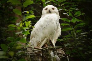 Olderdissen 01 - Snowy Owl