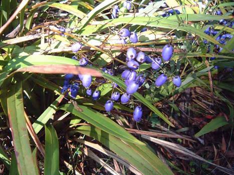 Purple berries - Tallaganda