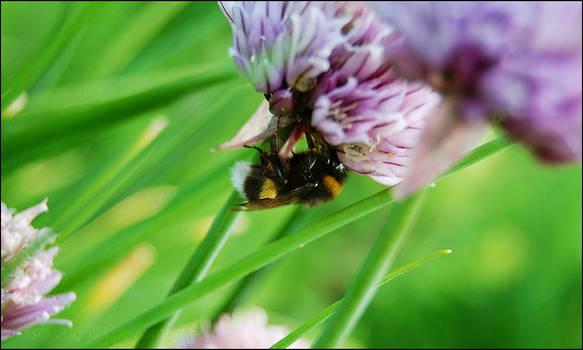 Dead bumblebee...