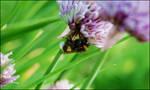 Dead bumblebee... by lassekongo83