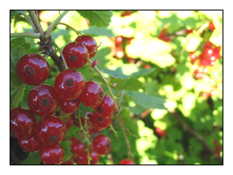 Redcurrants by lassekongo83