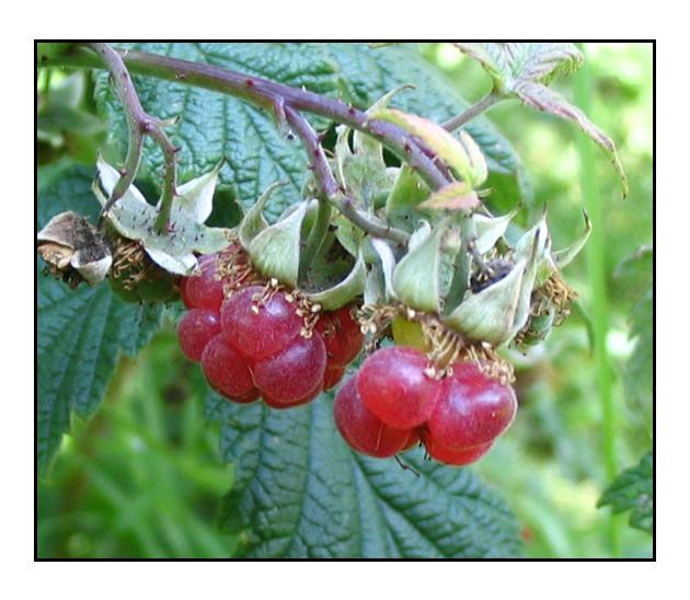 Wild Rasberries by lassekongo83