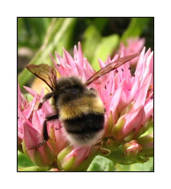 The little bumblebee by lassekongo83