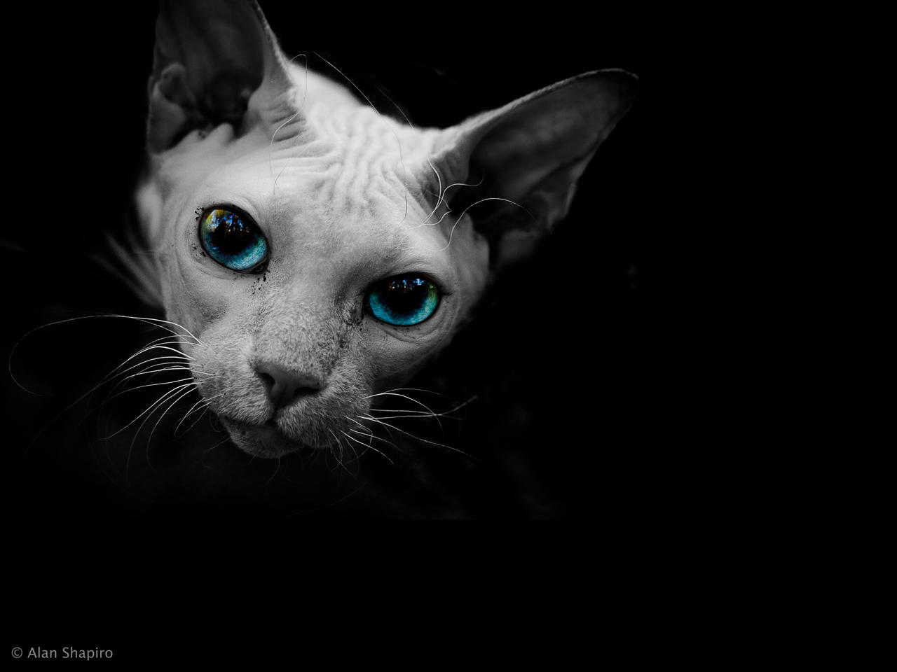 Where Can You Buy A Sphynx Cat