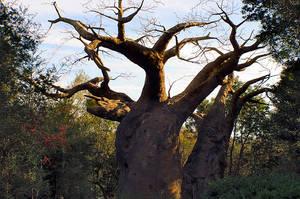 Baobab by JasonGalterio