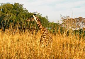Giraffe in the Brush by JasonGalterio