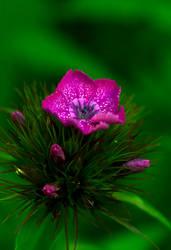 Kirkas kukkanen