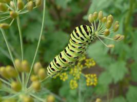 Caterpillar Papilio machaon by SilNae