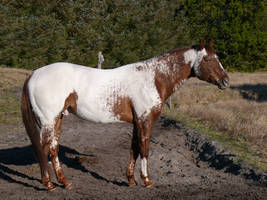 Appaloosa Stallion by Logaine