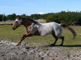 Playfull Appaloosa by Logaine