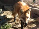 Romeo the Fox
