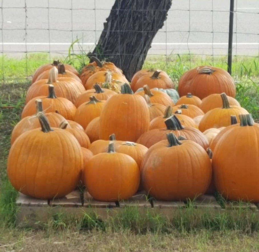 A bunch of pumpkins in the patch