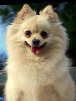Pommie the Pomeranian