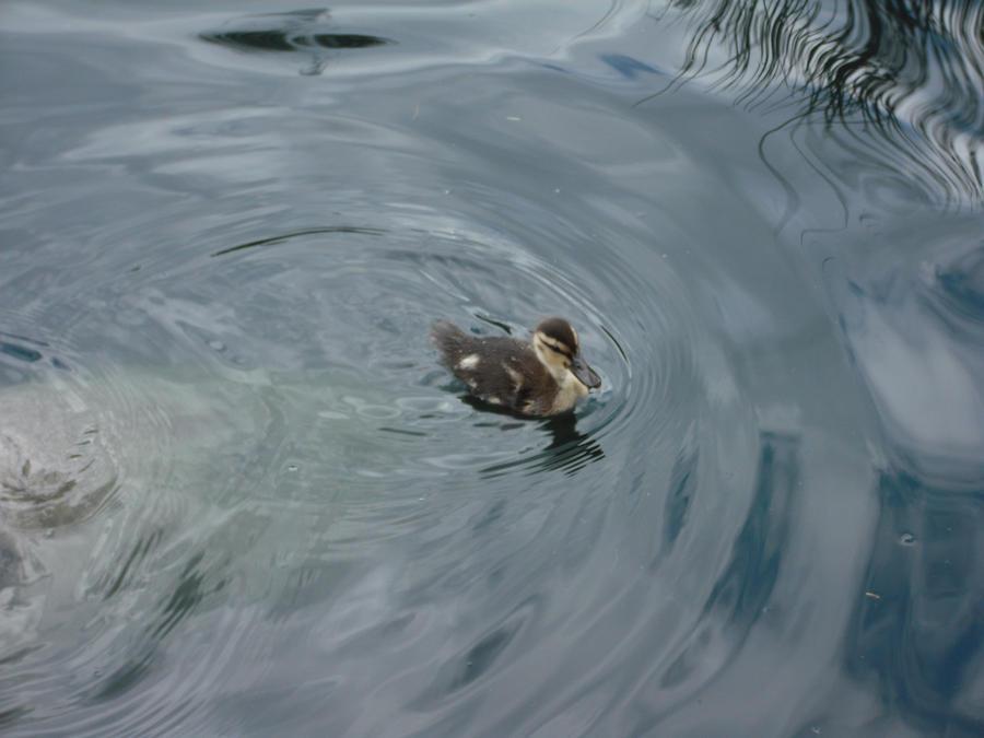 Little quacker by XD-385