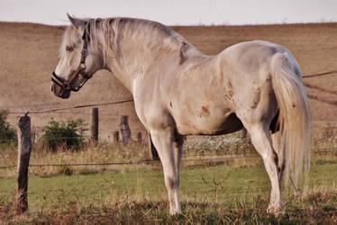 Beautiful PRE Stallion by MissJaneDark