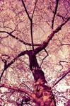 .cherry blossom ii