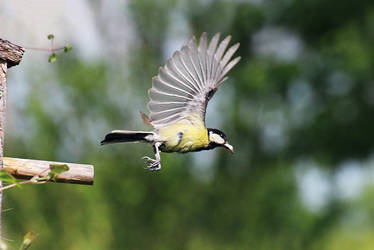 Great tit taking flight by sourpepper