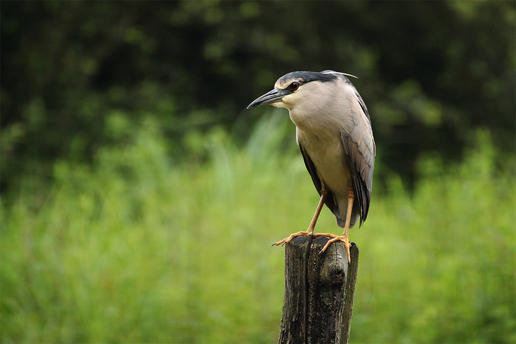 Suspicious black-crowned heron by sourpepper