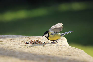 Great tit 8 by sourpepper