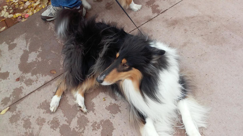 Beautiful Rough Collie by Becky123190