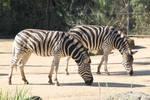 Zebra Stock3