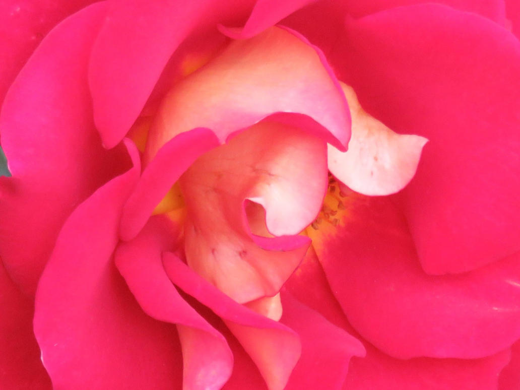 Pink Rose by Meeshellz41