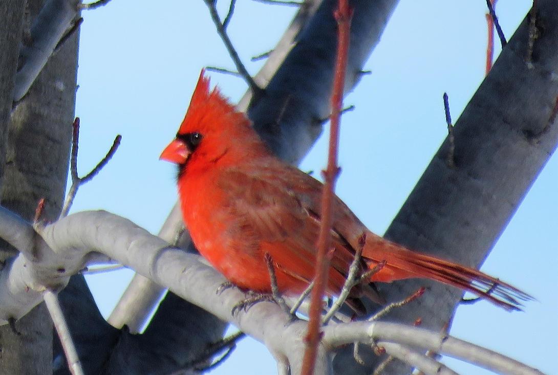 Beauty of a Cardinal by Meeshellz41