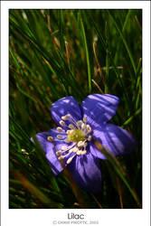 Lilac by gsuske