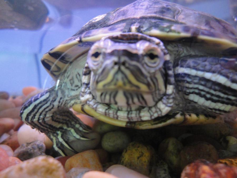 My Aquatic Turtle, Oasis by FoxyBassoon on deviantART