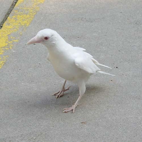 Albino crow - photo#12