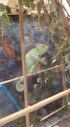 Baby_the_Chameleon_adolescent_ish