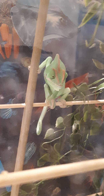 Baby_the_Chameleon_adolescent_ish_arbor