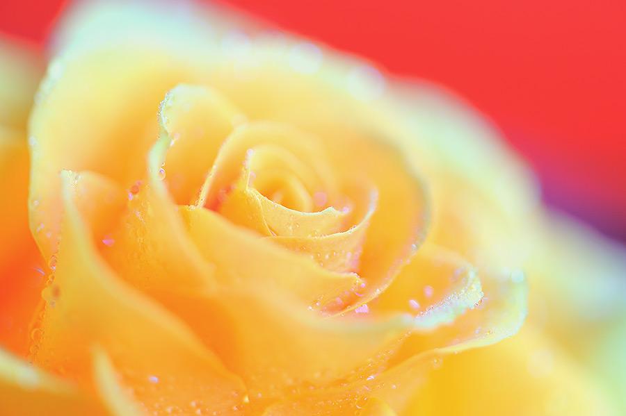 Rose by JOKE83