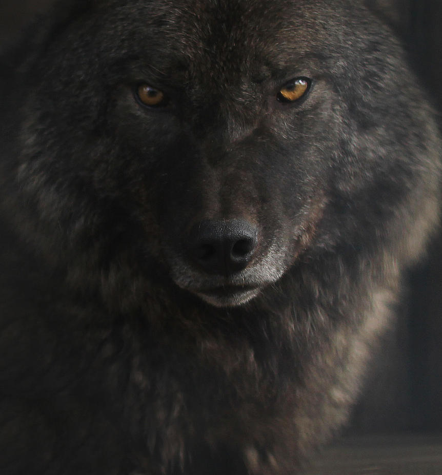 wolf by kargapolovR