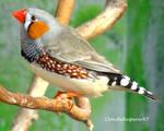 Tiny Brightly Coloured Bird - Adorable Zebra Finch