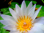 A Little Piece of Heaven: White Water Lily Flower