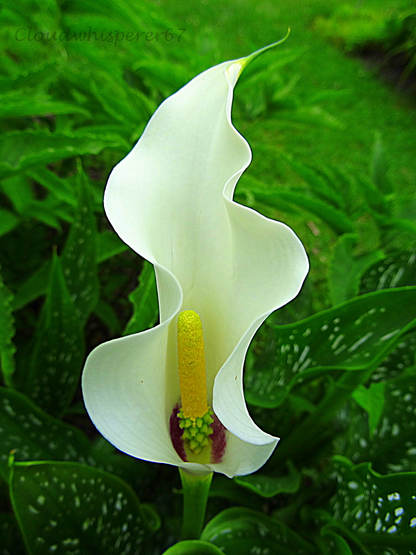 The Aflame Flower Zantedeschia Arum Calla Lily By