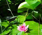 Waterlilies, Moorhen Chick and Pink Lotus